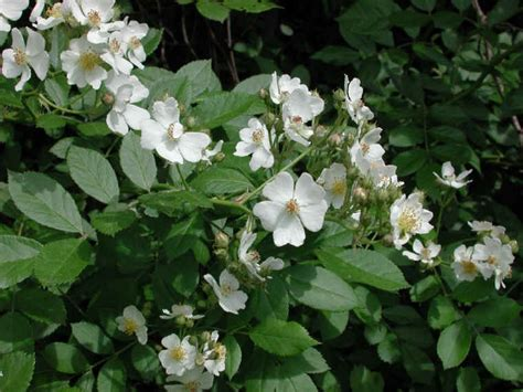 white flower shrub small white rambling rosa multiflora 02
