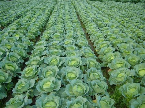 All about growing cabbages profitably