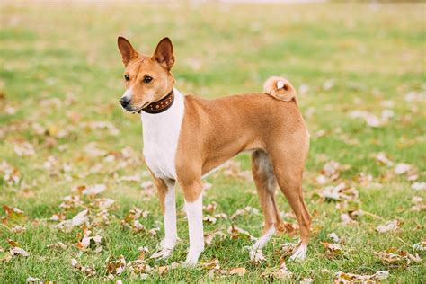 medium sized haired dogs basenji