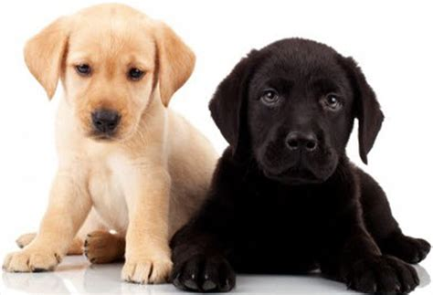 raising two puppies from different litters raising a mixed breed puppy caring tips pets world