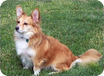 corgi pomeranian mix 25 best corgi pomeranian mix ideas on