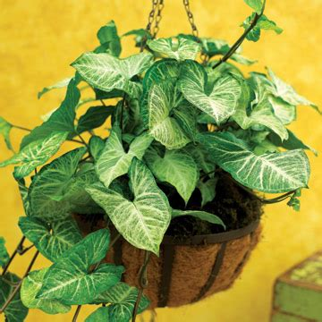 common house plant with shaped leaves bagvani tips for gardening indoor plants