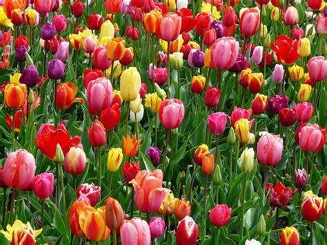 tulipano fiore significato il significato dei fiori