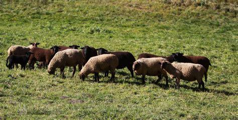 alimentazione pecore agnello pecora alimentazione allevamento degli
