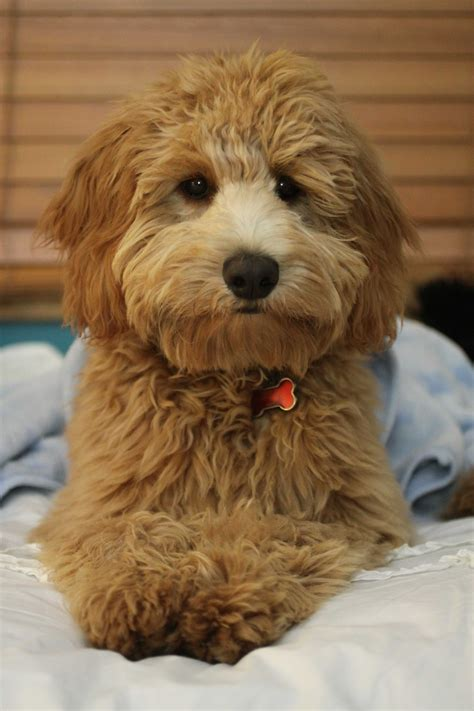 mini doodle hund mini goldendoodle golden doodle tiere hund