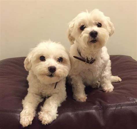 dogs for adoption in va rehomed matrix and marley purebred maltese brothers burke va