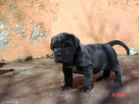 south africa neapolitan mastiff working pictures to pin on