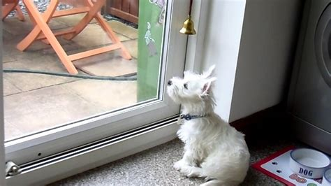 how to train dog to ring bell for bathroom alfie 3 month old westie rings bell to go outside puppy
