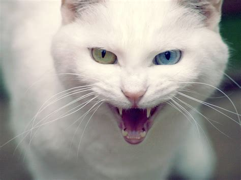 wallpaper angry cat angry cat cats wallpaper