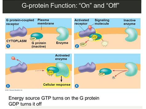 g protein coupled receptors function chapter 11 cell communication cell communication ppt