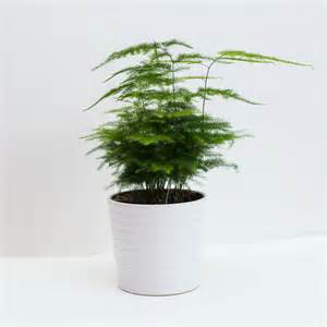 Large Succulent Planter by Asparagus Fern Also Known As Plumosa Fern House Plant By
