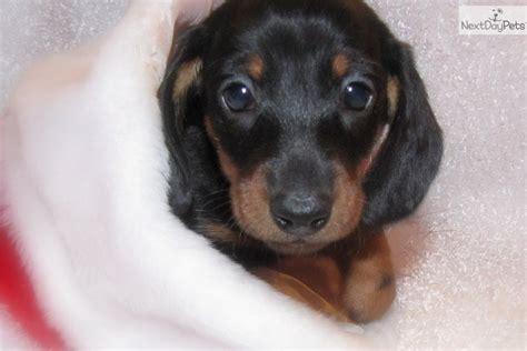 dachshund puppies for sale in iowa dachshund mini puppy for sale near fort dodge iowa 0fb324b4 4f21
