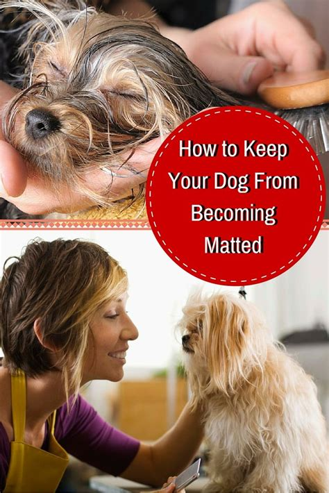 How To Prevent Mats In Dogs by If You A Haired You The Struggle Here