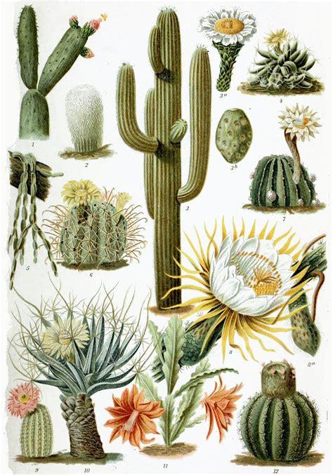 Bilder Speisesã Len by Cactaceae Wikip 233 Dia