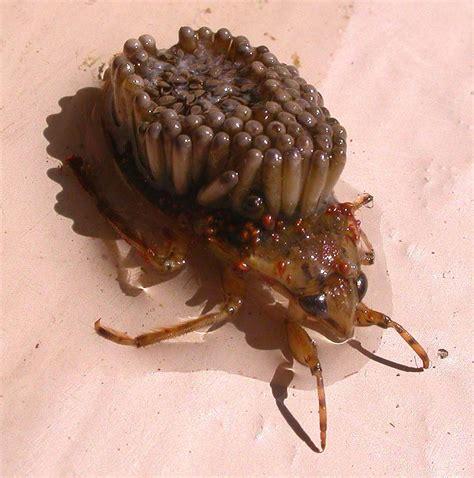 Spider Pubic Hair Meme Newhairstylesformen2014 - spider pubic hair meme nasty giant water bugs