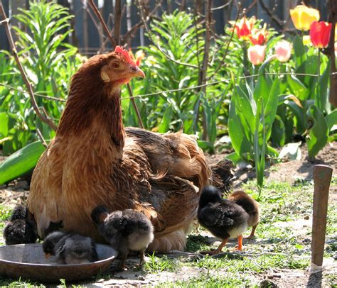 How To Keep Backyard Chickens The Benefits Of Keeping Chickens