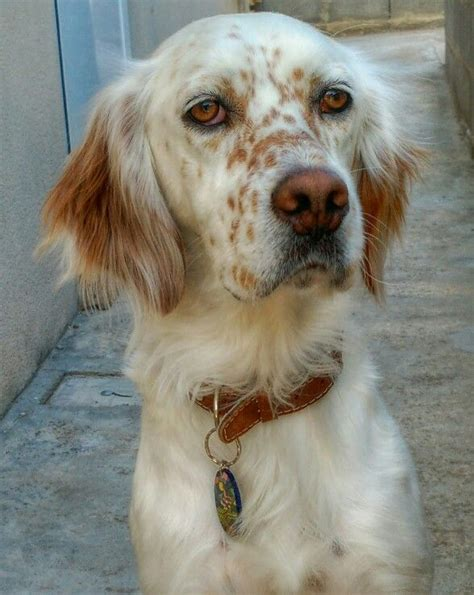 lemon setter dog 72 best english setter images on pinterest english