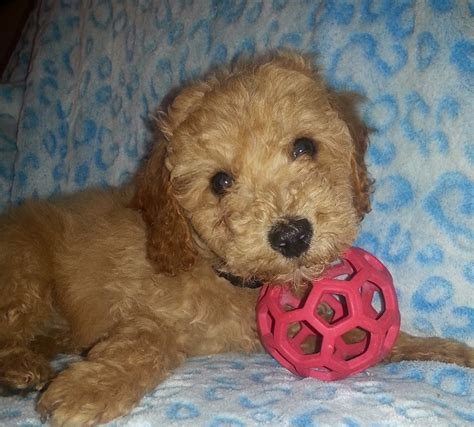 mini goldendoodles for sale in nj puppies for sale goldendoodle mini goldendoodles f1