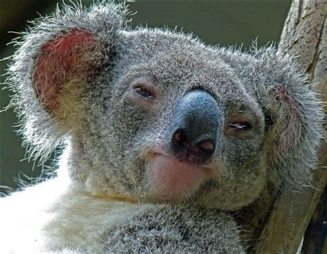 koala head 4: phredo: galleries: digital photography