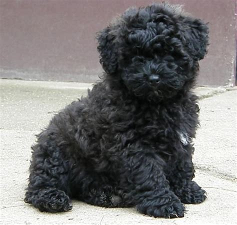puli puppies puli pictures photos and images photo gallery of puli dogs breeds picture