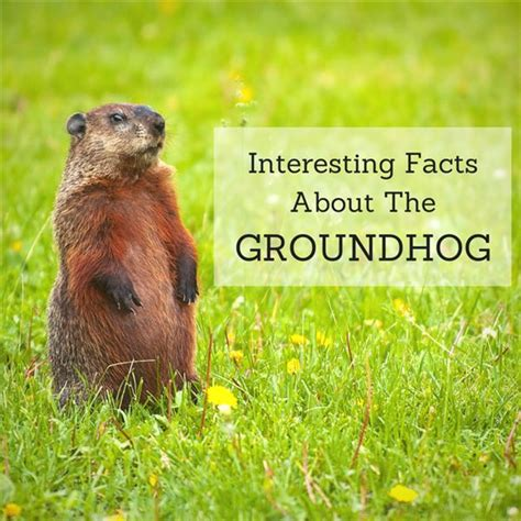 groundhog day you don t me groundhog facts learn about this adorable and intelligent