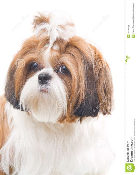 free shih tzu dogs shih tzu royalty free stock photos image 30100768