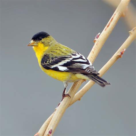 lesser goldfinch ebirdr