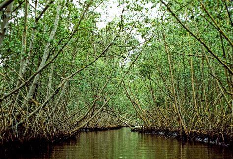 imagenes de barreras naturales no viviendo en un mundo vivo mangle rojo