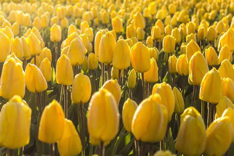 doorschijnende bloemen images gratuites matin fleur p 233 tale floraison tulipe
