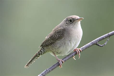 wren bird related keywords suggestions wren bird long