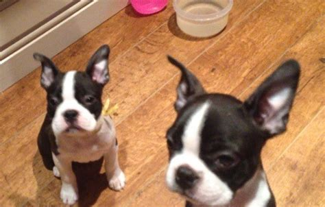 boston terrier puppies for sale in colorado two boston terrier puppies for sale stockton on tees county durham pets4homes