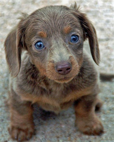 cheap dachshund puppies for sale chicky the dachshund puppies daily puppy