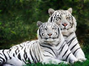 Best Place To Buy Comforter Sets Animal Picture Bengal Tiger White