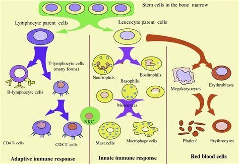 diagram of the immune system image gallery pathogen diagram