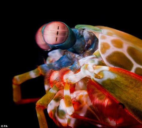mantis shrimp colors mantis shrimps use biological sunscreen to see uv