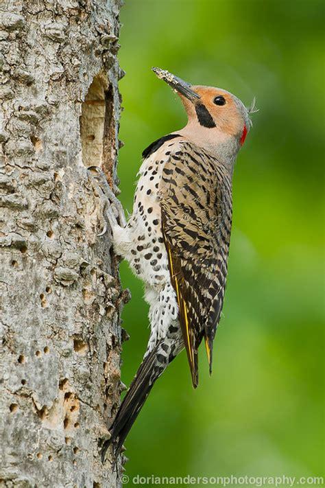 top 28 types of woodpeckers types of woodpeckers what