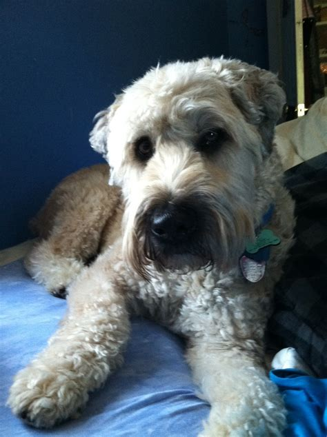 short haired wheaton short haired wheaten terrier short haired wheaten terrier