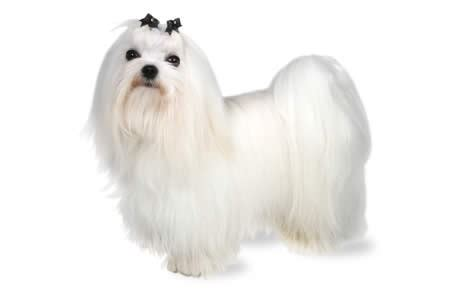 Maltese Shedding Hair by Top 10 Hypoallergenic Dogs Dogtime