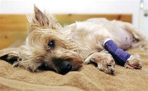 kidney failure in yorkies 25 milllion settlement ok d in tainted pet food ny daily news