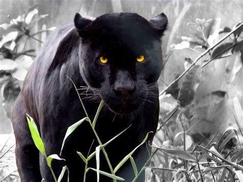 black leopard black leopard animal fun animals wiki videos pictures