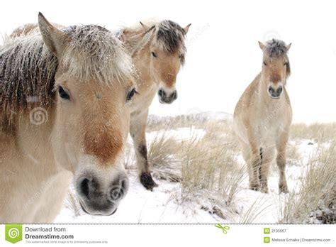 gratis paarden cavalos na neve imagem de stock imagem de frio inverno