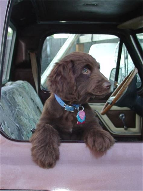 boykin spaniel puppies for sale in sc boykin spaniel puppies breeders spaniels