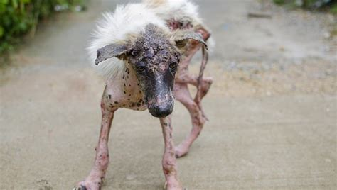 what causes mange in dogs mange in dogs symptoms causes treatments dogtime