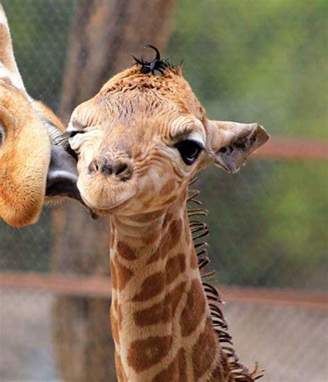 Imagenes De Jirafas Tumblr | 29 fotos de animales beb 233 s que te encantar 225 n noticiastvo com