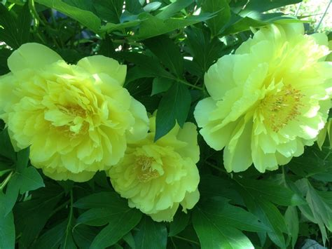 yankee doodle dandy flower 18 best peony plants 2013 images on peony