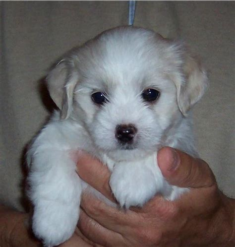 white havanese puppies photo of a white havanese puppy looking so jpg hi res 720p hd