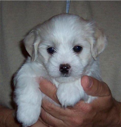 so havanese photo of a white havanese puppy looking so jpg hi res 720p hd