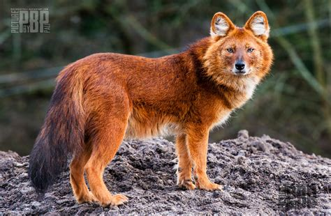 fox hybrid it s not actually a fox wolf hybrid but the dhole certainly looks like one xpost r