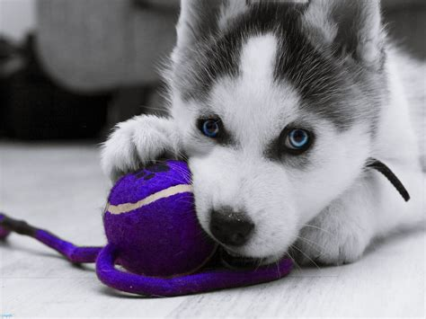 cutest husky puppy cutest husky puppy in the world breeds picture