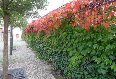 kletterpflanzen für pergola zaun pflanzen idee